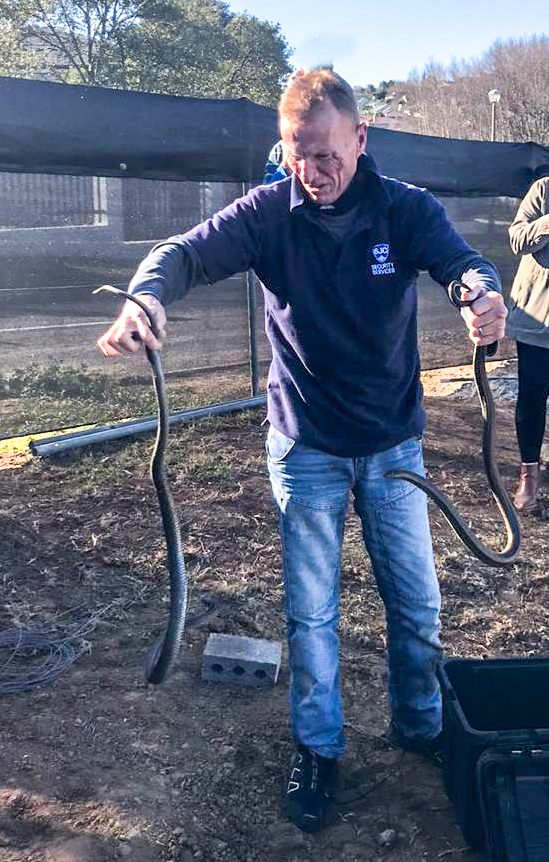 Mr Charl du Toit removing live snakes from the building site in Gamay Street. These mole snakes may look dangerous but they are not venomous.